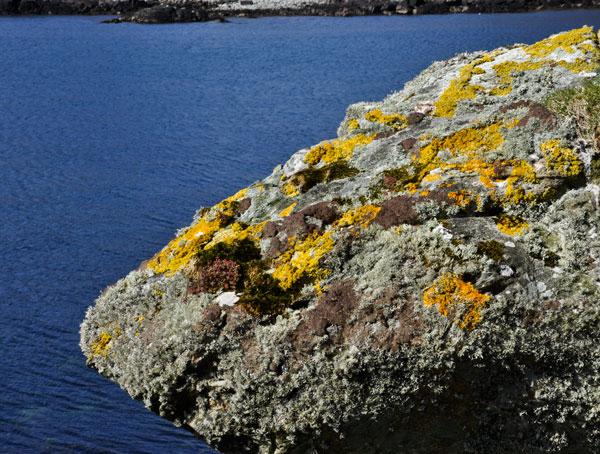 lichens, sedum, moss, coastal rock outcrop