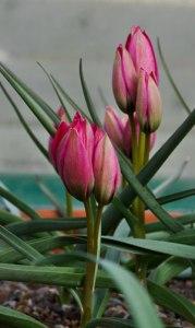 Tulipa-hageri-Splendens