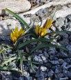 Tulipa-urumensis-Tity's-Star