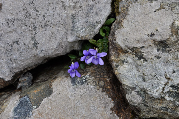 Common Dog Violet Viola riviniana