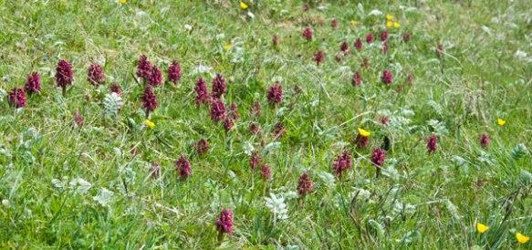Dactylorhiza incarnata coccina swarda-plants