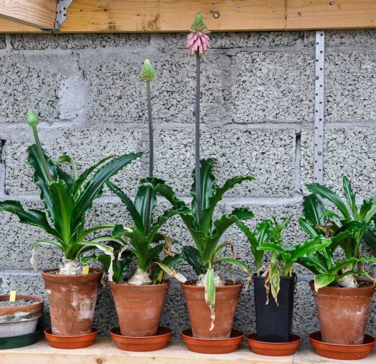 Veltheimia capensis in pots