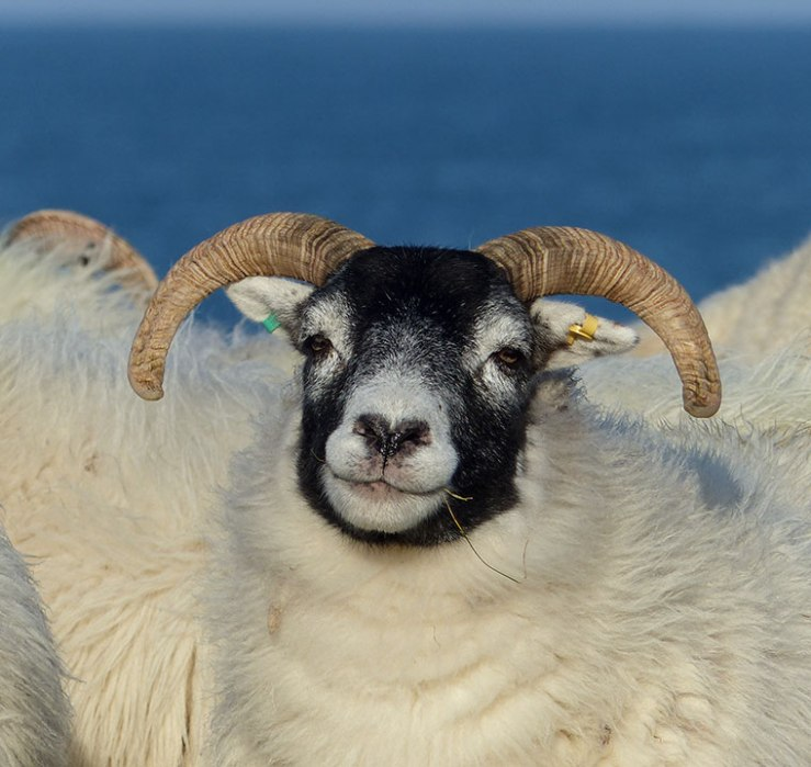 Black-faced Ewe
