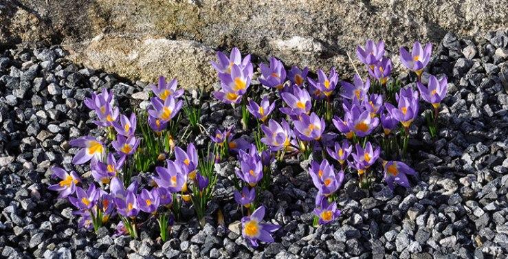 Crocus sieberi subsp. sublimis 'Tricolor'