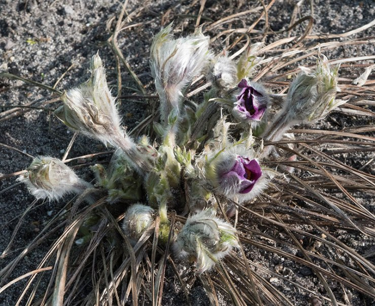 Haller's Pasqueflower Pulsatilla halleri slavica