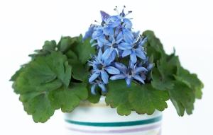 Scilla bifolia vase