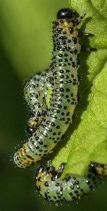 Gooseberry Sawfly larva on redcurrant leaf
