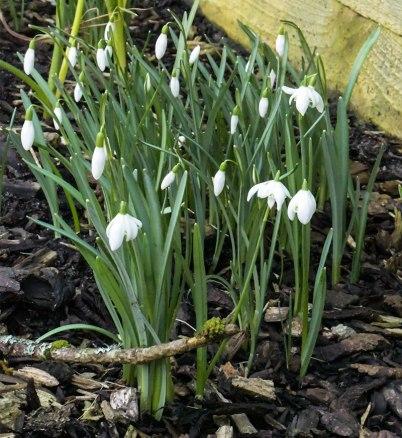 Galanthus-nivalis-f.-pleniflorus-Flore-Pleno