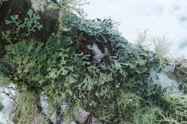 Foliose lichens Hypogymia physodes