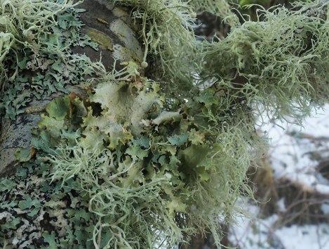 Leafy lichens: