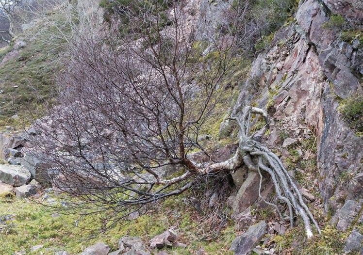 Birch, Wester Ross