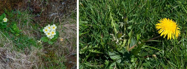 Primrose (Primula vulgaris) and Dandelion (Taraxacum officinale agg.)