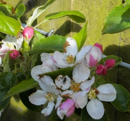 Apple-blossom-1
