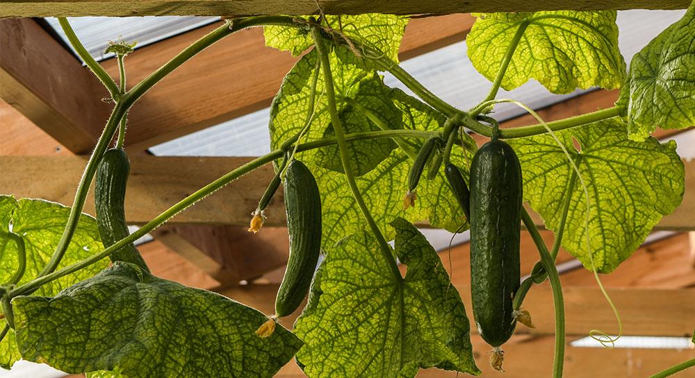 Cucumber passandra