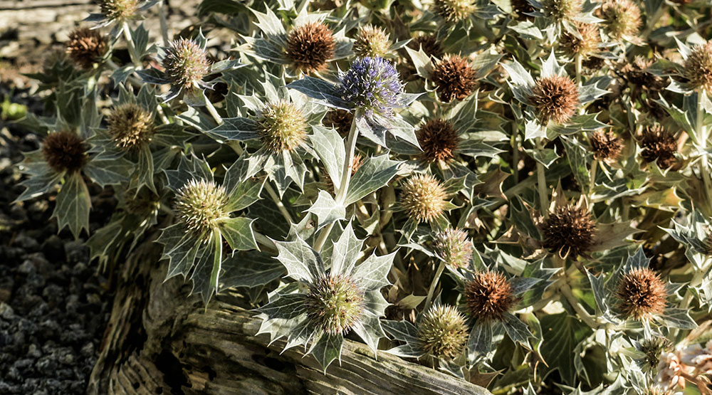 Sea Holly, Eryngium maritimum