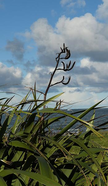 New Zealand Flax, Phormium
