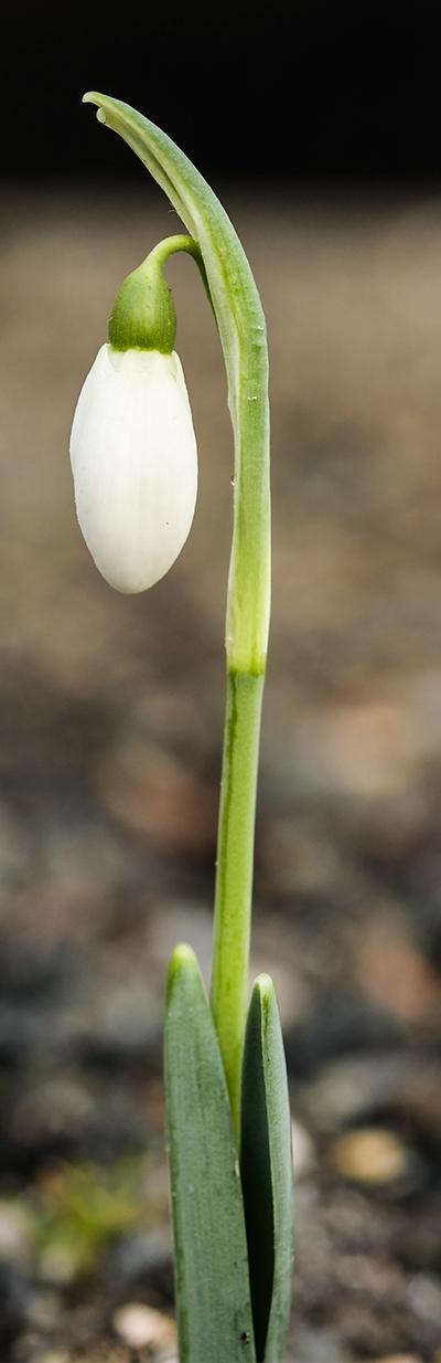 Galanthus elwesii 'Mrs Macnamara', Snowdrop