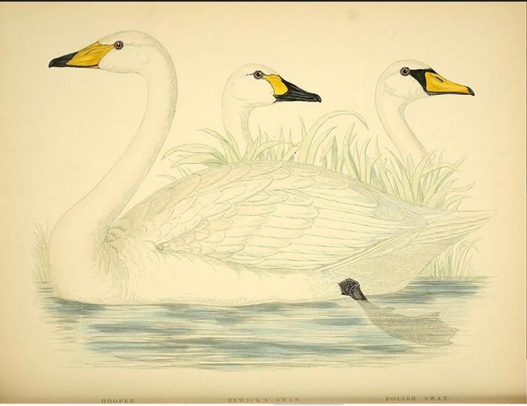 Wild Swans. Morris (1855), British Game Birds and Wildfowl.