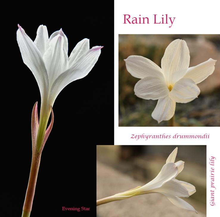 Rain Lily, Zephranthes drummondii