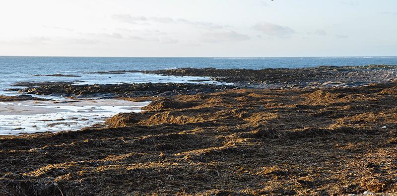 Seaweed on Ardivachar beach