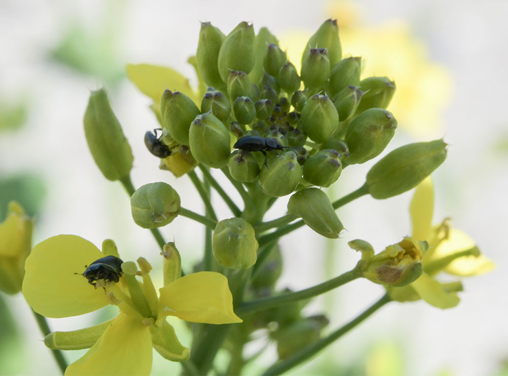 pollen beetles on brassica flowers